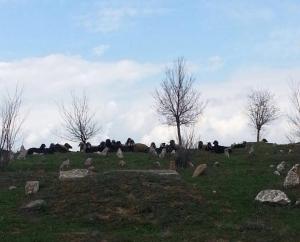 Herde auf dem Friedhof in Hacrê
